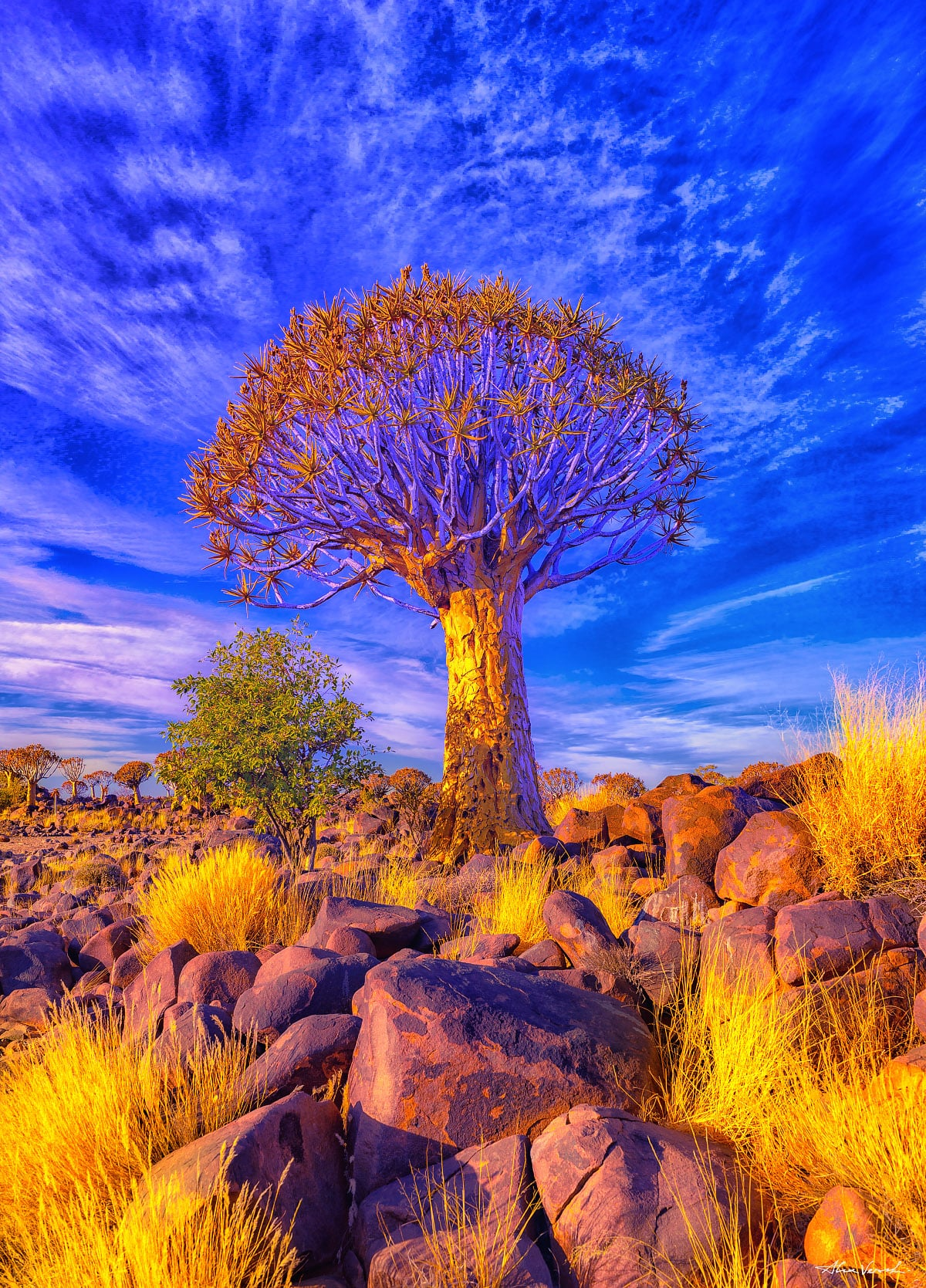Quiver Tree, Alexander Vershinin, african forest, Namibia photography, Fine Art, Limited Edition, Africa, photo