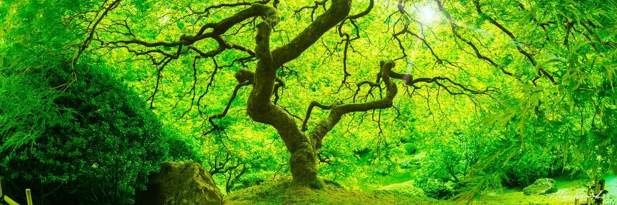 Limited edtion, Fine Art, Magic Forest, Alexander Vershinin, oregon tree, Oregon Photography, japanese maple, famous peter lik tree,  photo