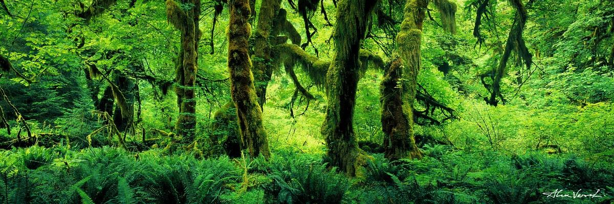 Limited edtion, Fine Art, Predator, Alexander Vershinin, unpassable forest, Washington State Photography, rain forest, green trees, photo