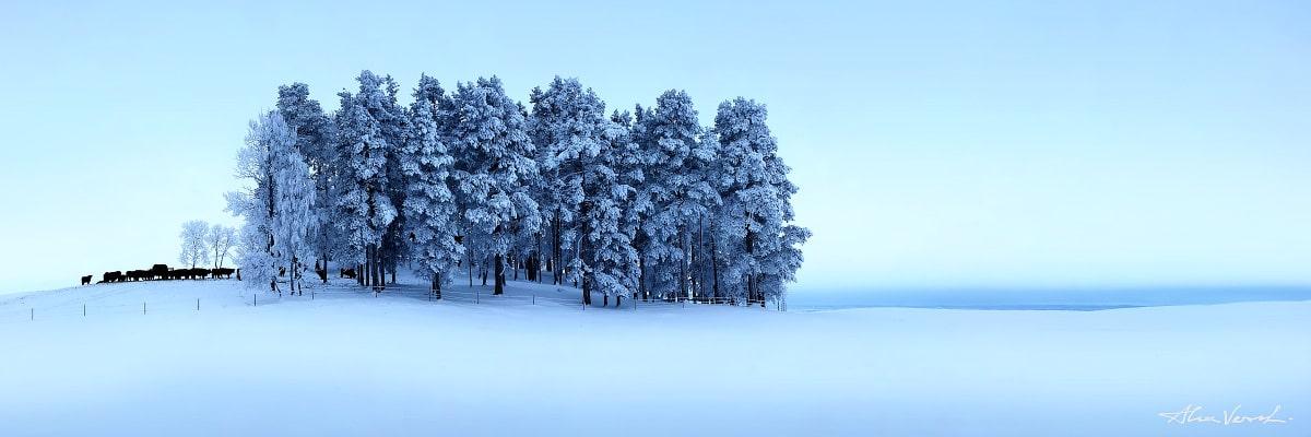 Sweden Nature photos, The Hearthkeepers, Alexander Vershinin, winter forest, trees in snow, scandinavian winter, bulls, photo