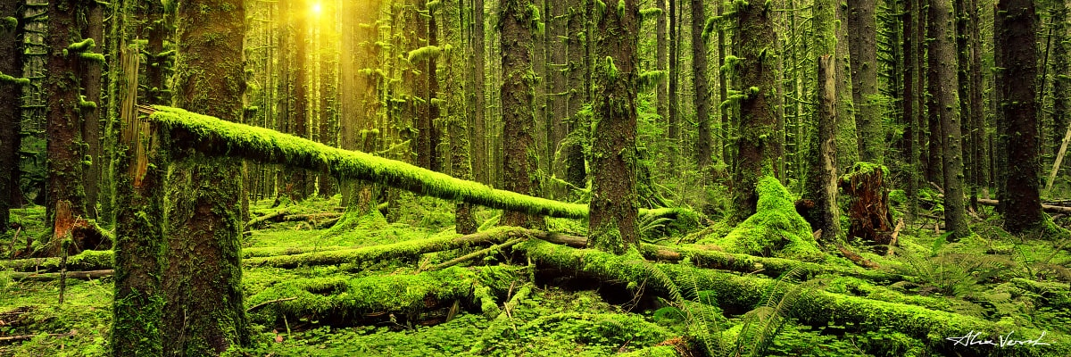 Limited edtion, Fine Art, The Masts and The Crows-Nest, Alexander Vershinin, Washington State Photography, rain forest, green moss trees, impassable wood, photo