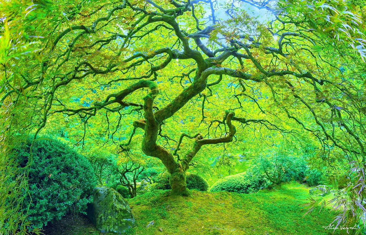 Oregon Photography, peter lik tree, japanese maple, famous tree, Alexander Vershinin, Luxury, Fine Art, spiderweb, photo